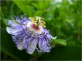 Passion Fruit Flowers by RorieB