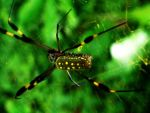 Spider by nicks-mou