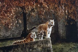 Tiger couple by Dream-traveler