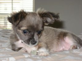 Chico the Chihuahua by englishmissie