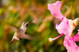 Hovering by the pink flowers by isotophoto