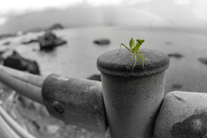 Curious Mantis by TimGrey