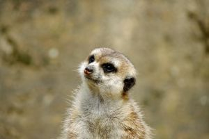 Meerkat Face I by ApoTerra