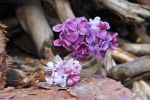 Lilac and wood by rosaarvensis