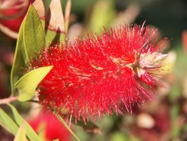 Extremely red flower by bellaricca