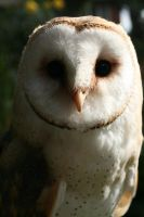 Esme the Barn Owl by RaeyenIrael-Stock