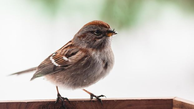American Tree Sparrow Portrait by ViridianRoses