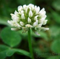 Clover by Emagyne