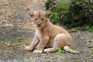 Lion cub by brijome