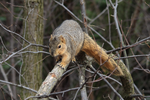 Fox Squirrel 64 by Gerryanimator