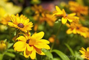 black-eyed susans II by cmykchicago