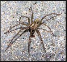 The Giant house spider 2 by Vitaloverdose