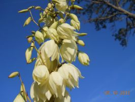 Yucca Bloom flowers by BabyImMeee