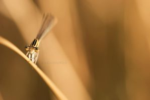 The eyes of the dragonfly by Amersill