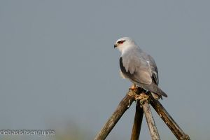 Black Winged Kite by DebasishPhotos