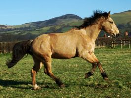 Flye Cantering by EquinePhotoandStock