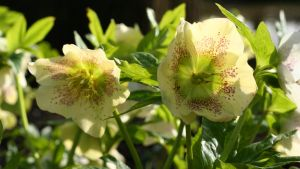 hellebores by evelynzee
