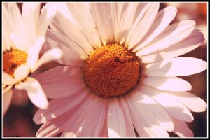 Daisy 2 by halogenlampe
