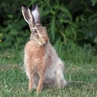 A Hare Pose by TomiTapio