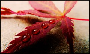 Wet Maple by Skinno-1