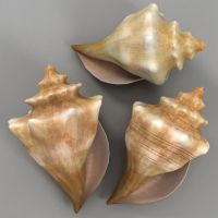 conch shell by Canachin