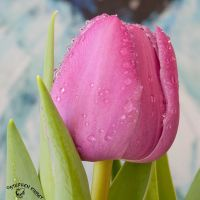 Wet Tulip by FauxHead