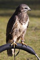 Hawk - Buzzard by UdoChristmann