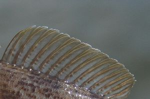 Second dorsal fin of a round goby by slingeraar