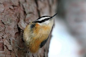 Nuthatch - 1 by creative1978