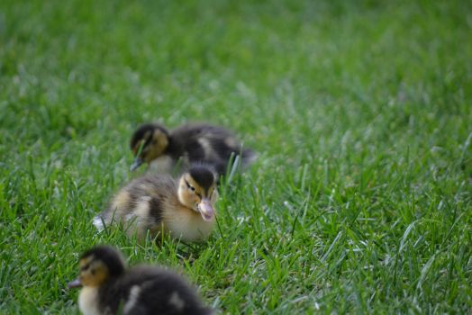 Ducklings by Country-Girl-93