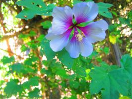 Shady Pink and White Hibiscus by Sing-Down-The-Moon