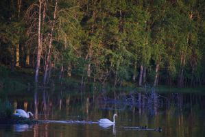 Swan Family #1 by perost