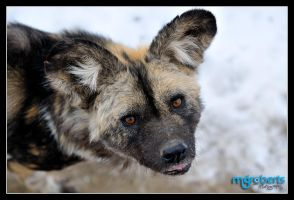 African Painted Dog 5809 by mgroberts