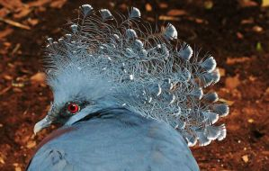 Victoria Crowned Pigeon 2 by Monkeystyle3000