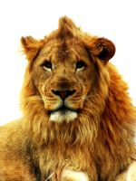 African Lion by Teh-Pandacoon