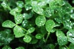Dew On The Clovers by mudermeart