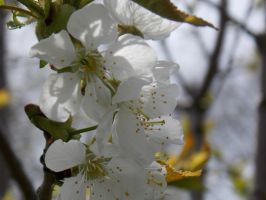 Apple Blossoms by Bweeka