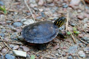 The Silver Dollar Painted Turtle 5 by ScooterboyEx221