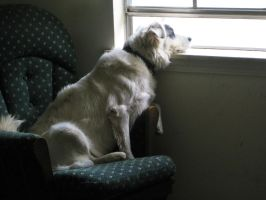 Sam Looking Out the Window by macfran