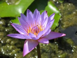 Water lily 1914 by fa-stock