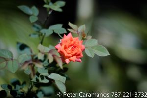 Miniature Rose by Caramanos2000