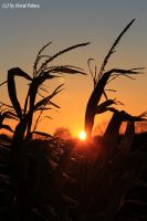 Sunset In The Maize Field 3 by bluesgrass