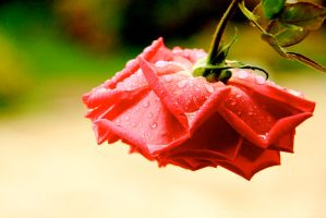 Rain and rose 2 by LENA3689