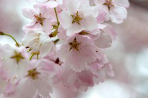 Cherry Blossoms by FairieGoodMother