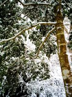 Holly Tree in the Snow by MLStock