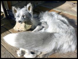 Glacier Fox SOLD by Tricksters-Taxidermy