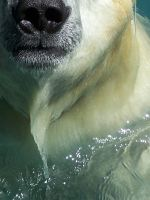 Nose of a Polar Bear by ditostar