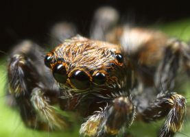 Jumping Spider 2 by RichardConstantinoff