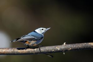White-breasted Nuthatch by madmoonhowl