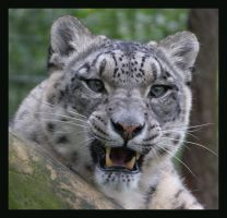 Snow Leopard by Hozzell